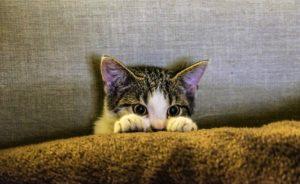 cat peeking over a blanket