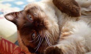 Siamese cat lying on back.