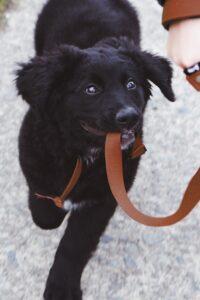 Black dog biting its leash.