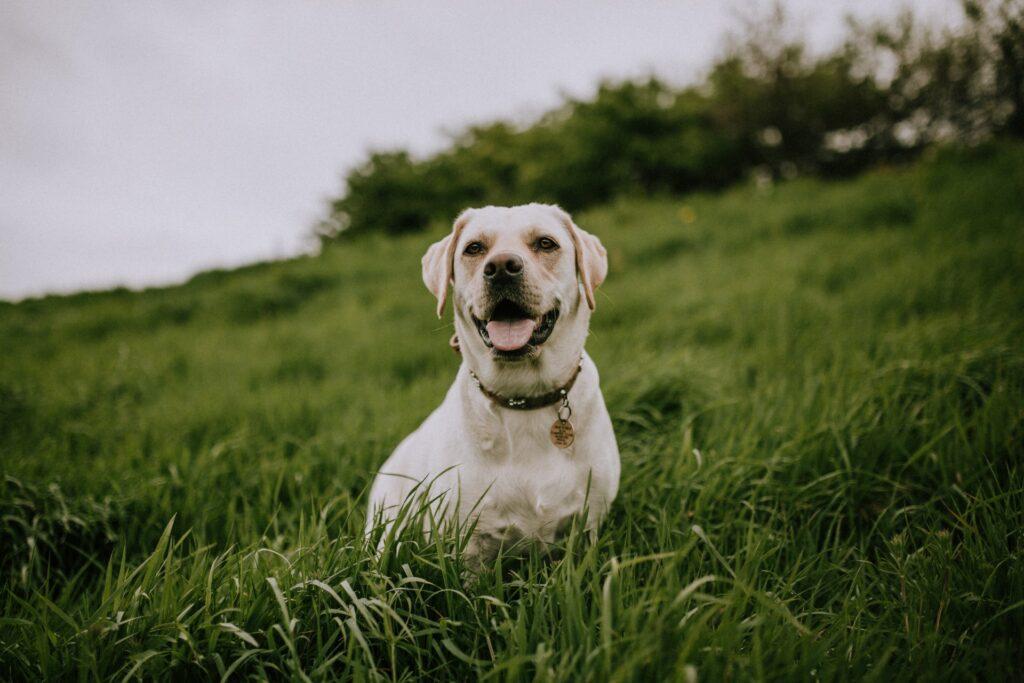 White dog in a field.
