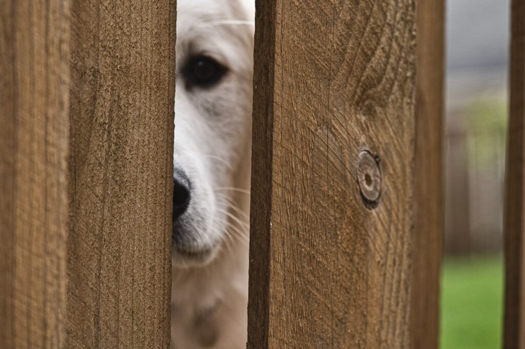 Dog peeking through wooden fence.