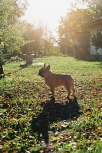 French bulldog in a yard.